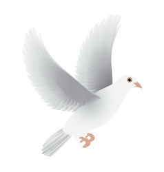 white dove isolated vector image