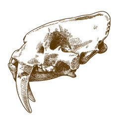 Engraving of smilodon skull vector