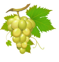 White grape vector