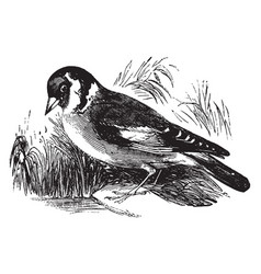 goldfinch vintage vector image