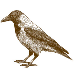 engraving drawing of crow vector image