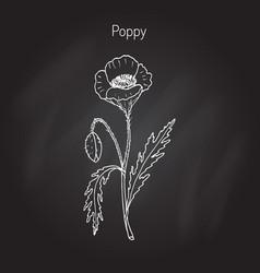 Opium poppy or papaver somniferum vector