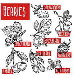 berries sketches natural organic fruits harvest vector image