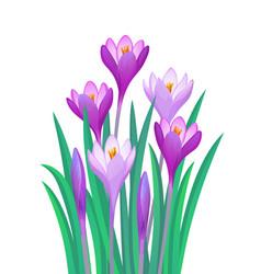 Bouquet crocuses vector