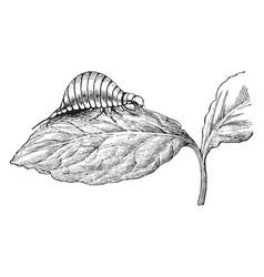 Larva of potato beetle vintage vector