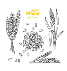 Wheat hand drawn vector