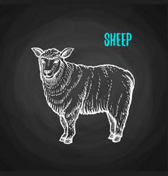 animal sheep in chalk style on blackboard vector image