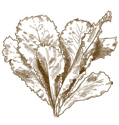 engraving of lettuce salad vector image