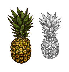 Pineapple tropical fruit sketch for food design vector