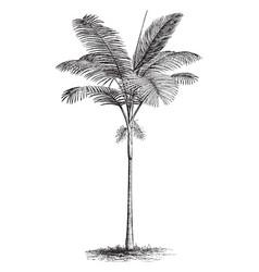Ptychosperma cunninghamiana vintage vector