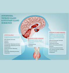 Endocrine system image vector
