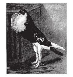 English pouter vintage vector