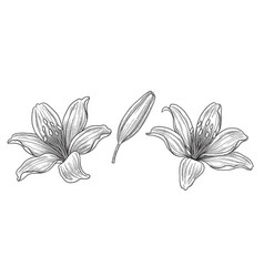 hand drawn monochrome lily flower heads and bud vector image