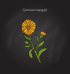 medicinal plant calendula officinalis vector image
