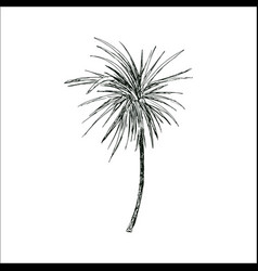 Coconut palm sketch or queen palmae with leaves vector