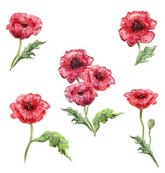 Watercolor painting of set poppies vector