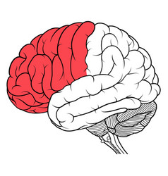 Frontal lobe of human brain anatomy side view flat vector