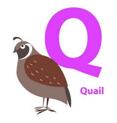 brown quail on alphabet card with letter q flat vector image