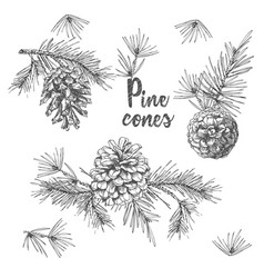 Realistic botanical ink sketch of fir tree vector