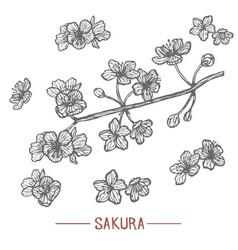 sakura in hand drawn style vector image