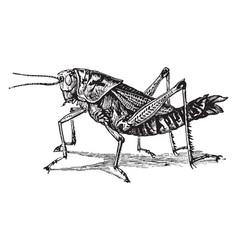 Lubber grasshopper vintage vector
