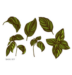 Set hand drawn colored basil vector