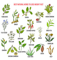 best natural herbs for fast lose weight vector image