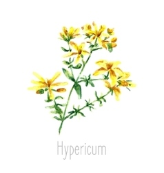 Watercolor hypericum herbs vector image