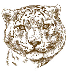 Engraving of snow leopard head vector