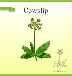 Primula veris common cowslip medicinal plant vector