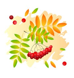 rowan berry and leaves on orange vector image