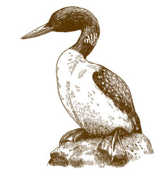 Engraving drawing of great northern loon vector