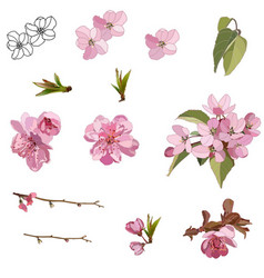 Flowers and leaves an apple tree vector