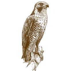 Engraving drawing hawk vector