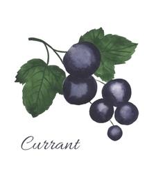 Watercolor blackcurrant vector image