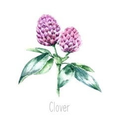 Watercolor clover herb vector image