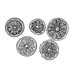 Citrus fruits slice set sketch engraving vector