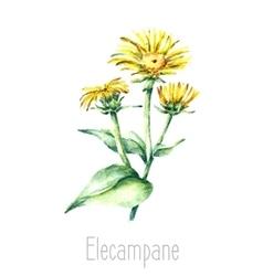 Watercolor elecampane herb vector