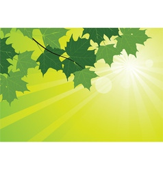 sunbeams and maple leaves vector image