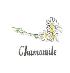 Watercolor white chamomile vector