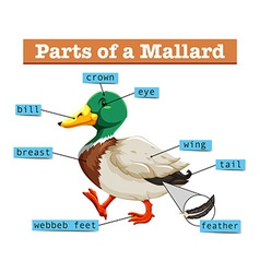 Different parts of mallard vector
