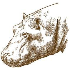 Engraving of hippopotamus head vector
