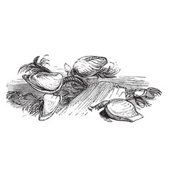 Goose necked barnacle vintage vector