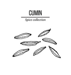 Spice collection cumin seed hand drawn vector