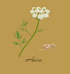 Anise pimpinella anisum vector