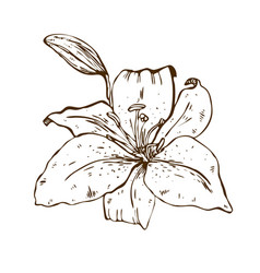 beautiful contour lily flower of big lily vector image