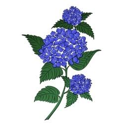 Hydrangea blue flower vector image
