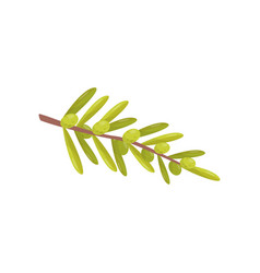small branch with green olives and leaves natural vector image