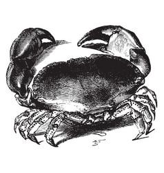 edible crab vintage vector image