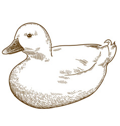 engraving drawing of white duck bird vector image